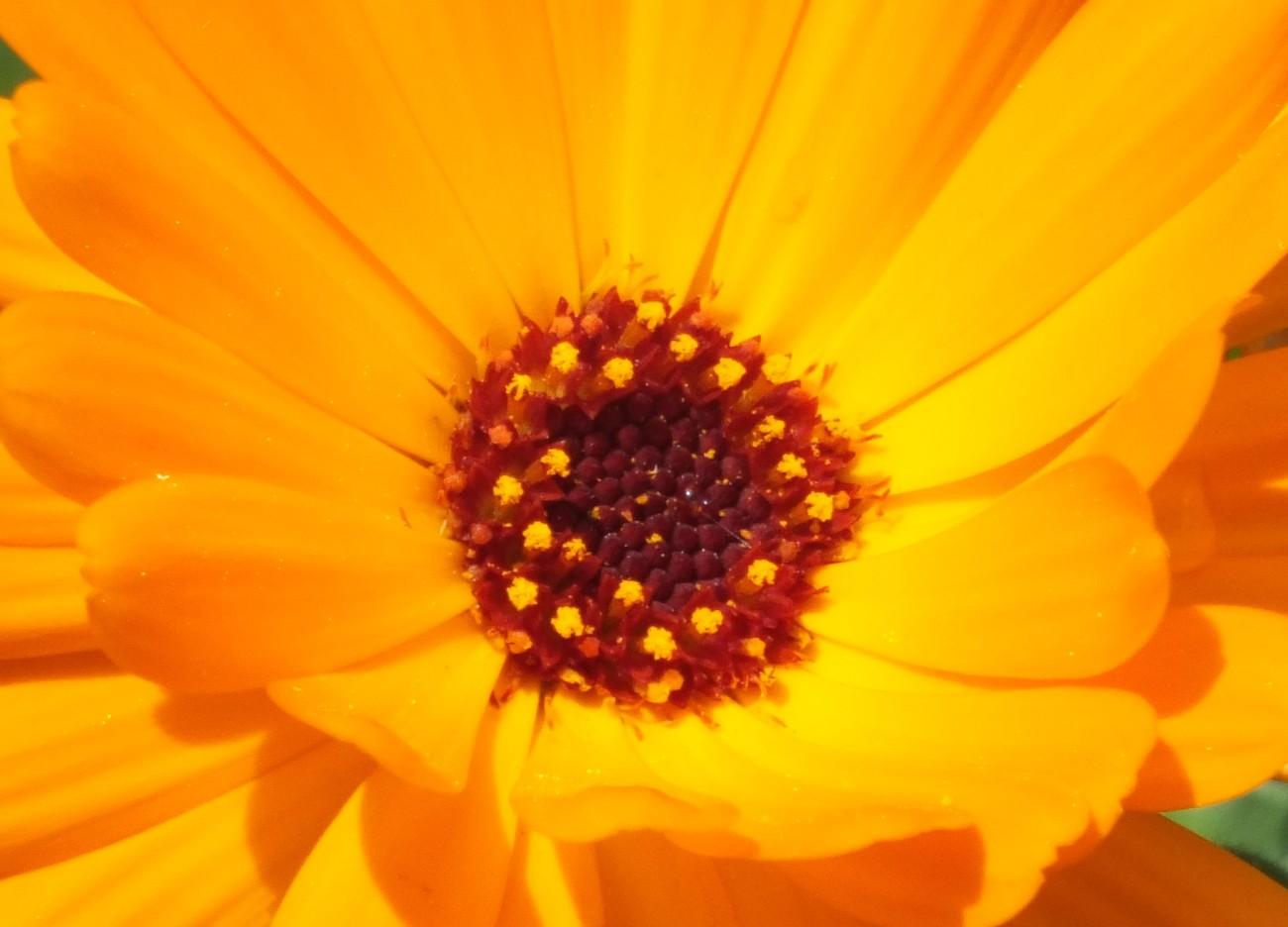 0698-Calendula.jpg